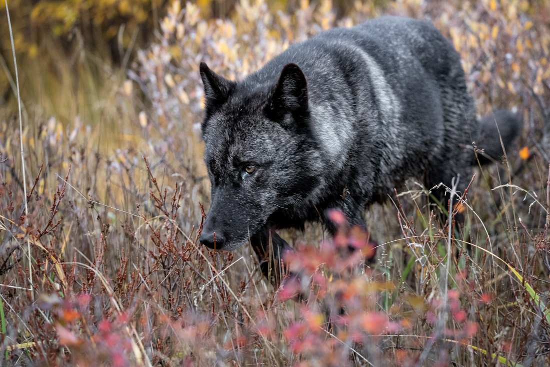 Wolf Passing By