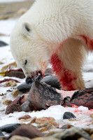 Polar Bear Lunch