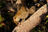 Leopard in Tree Cleans Up
