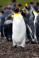King Penguin Approach