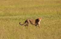 Cheetah Cub on the Prowl