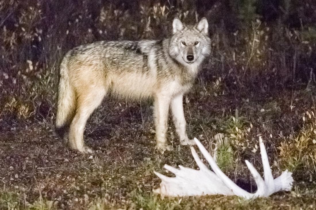 Timberwolf in the Yard
