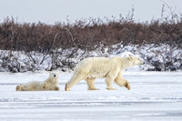 Polar Bear Mom and Cub