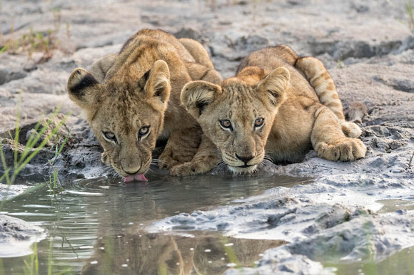 Cubs at the Water Hole
