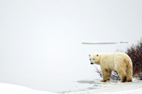 Polar Bear Checks the Ice