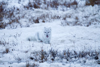 Arctic Fox Blends In