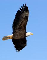 Bald Eagle Banking in Flight