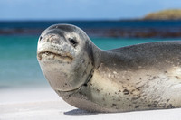 Young Leopard Seal