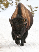 Bison Approaches