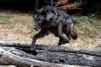 Black Wolf Jumping