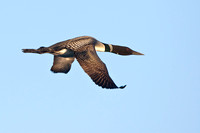 Loon in Flight