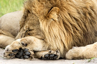 Lion Paws are Huge