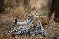 Leopad Cub with Mom