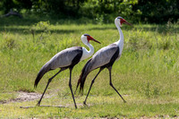 Pair of Wattled Cranes