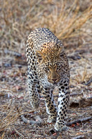 Leopard Walking at Me