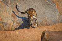 Leopard Jumps from Rock