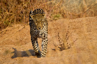 Leopard Coming my Way