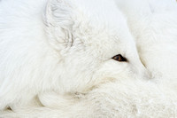 Impression of an Arctic Fox
