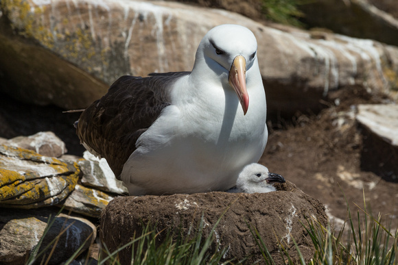 Albatross With Chick