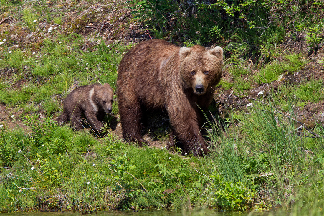 Sow with Spring Cub