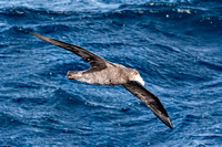 Petrel in Flight