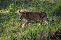 Lion Cub on the Prowl