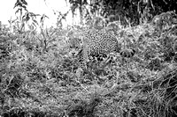Jaguar in Black and White