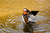 Mandarin Duck Wing Flap