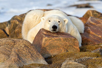 Pooped Polar Bear