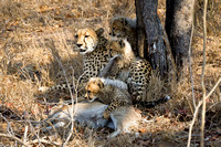 Cheetah Family with Kill