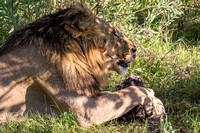 Lion With Dinner