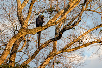 Hyacinth Macaw in Early Light