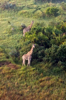 Giraffes From Above